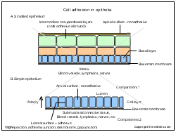 Cell adhesion in epithelia