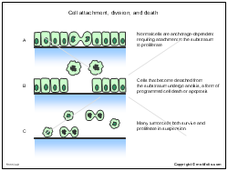 Cell attachment division and death