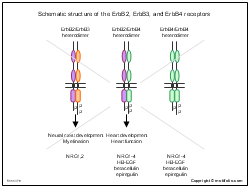 Schematic structure of the ErbB2 ErbB3 and ErbB4 receptors