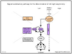 Signal transduction pathway for the determination of left-right asymmetry