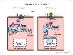 Wnt-beta-caterin signaling pathway