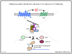 Hedgehog signal transduction pathway in the absence of Hedgehog