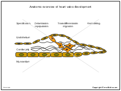 Anatomic overview of heart valve development
