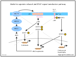 Model for agonists induced Jak-STAT signal transduction pathway