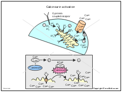 Calcineurin activation