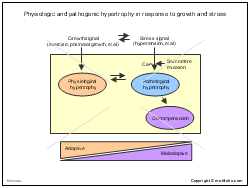 Physiologic and pathogenic hypertrophy in response to growth and stress
