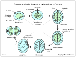 Progression of cells through the various phases of mitosis
