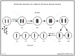 Schematic depiction of reduction divisions during meiosis