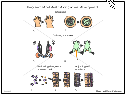 Programmed cell death during animal development