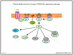 Phosphatidylinositol 3-kinase PI3K-Akt signaling pathway