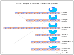 Nuclear receptor superfamily - DNA-binding domain