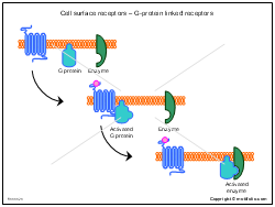 Cell surface receptors - G-protein linked receptors