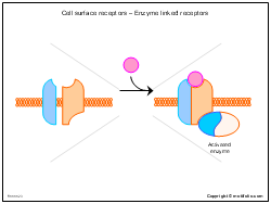 Cell surface receptors - Enzyme linked receptors