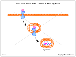Inactivation mechanisms - Receptor down-regulation