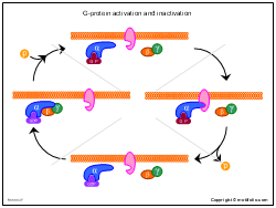 G-protein activation and inactivation