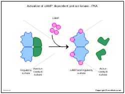 Activation of cAMP dependent protein kinase - PKA