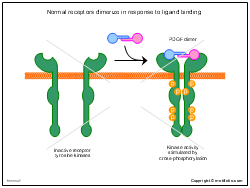Normal receptors dimerize in response to ligand binding