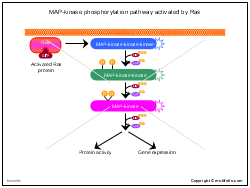 MAP-kinase phosphorylation pathway activated by Ras