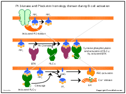 PI 3-kinase and Pleckstrin homology domain during B cell activation