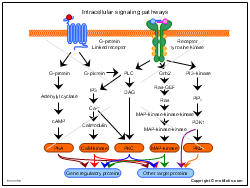 Intracellular signaling pathways