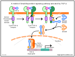 A model of Smad-dependent signaling pathway activated by TGF-beta