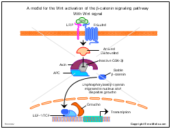 A model for the Wnt activation of the beta-catenin signaling pathway With Wnt signal