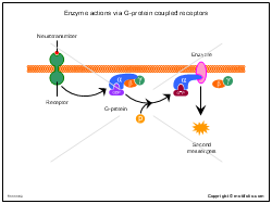 Enzyme actions via G-protein coupled receptors