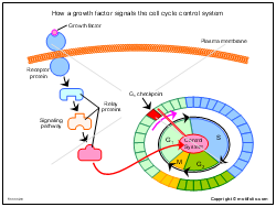 How a growth factor signals the cell cycle control system