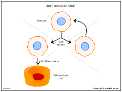 Stem cell proliferation