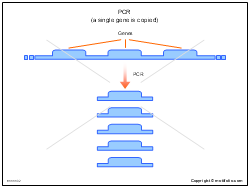 PCR a single gene is copied
