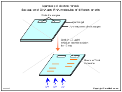 Agarose gel electrophoresis Separation of DNA and RNA molecules of different lengths