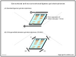 Conventional and non-conventional Agarose gel electrophoresis