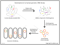 Construction of a human genomic DNA library