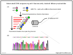 Automated DNA sequencing with fluorescently labeled dideoxynucleotides