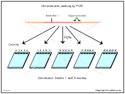 Chromosome walking by PCR
