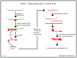 RACE-rapid amplification of cDNA ends