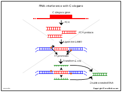 RNA interference with C elegans
