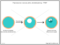 Fluorescence recovery after photobleaching-FRAP