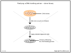 Purifying a DNA-binding protein-clone library