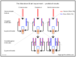 The Meselson-Stahl experiment-predicted results