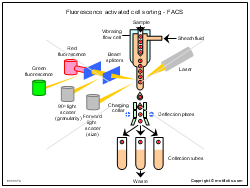 Fluorescence activated cell sorting - FACS