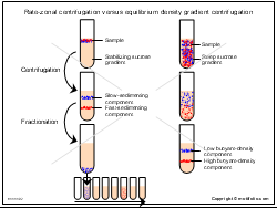 Rate-zonal centrifugation versus equilibrium density gradient centrifugation