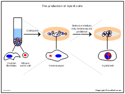 The production of hybrid cells