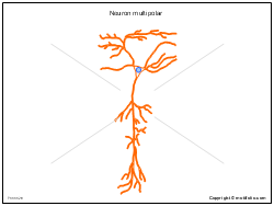 Neuron multipolar