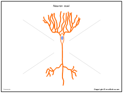 Neuron oval