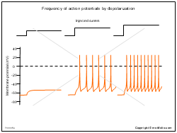 Frequency of action potentials by depolarization
