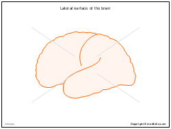 Lateral surface of the brain