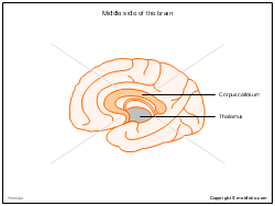 Middle side of the brain