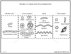 Variation in shape and cell arrangements