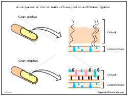 A comparison of the cell walls - Gram-positive and Gram-negative